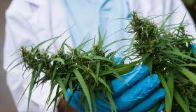 Doctor hand holding green leaf of marijuana,
