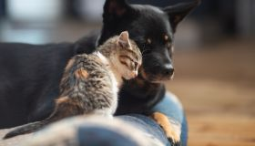 Baby kitten loving on a dog