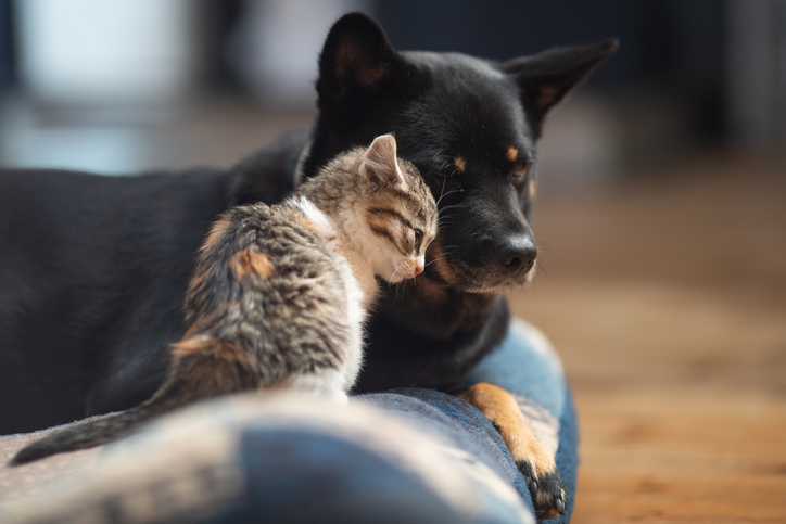 Baby kitten loving on a dog